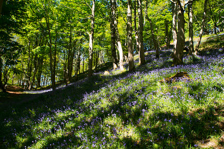 bluebells at spring 440.jpg
